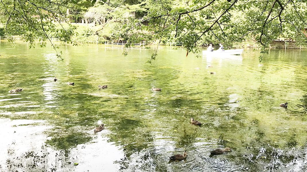 井の頭池の水鳥