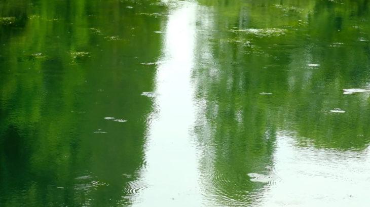 井の頭池のアメンボたち